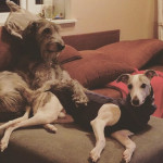 Keppo et Sarma - Irish Wolfhound