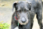 Irish Wolfhound picture