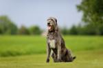 Irish Wolfhound picture