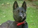 Holly, Berger hollandais femelle de 1 an - Dutch Shepherd dog