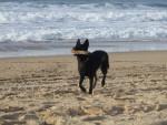 Holly, femelle Berger Holllandais à la mer - Dutch Shepherd dog