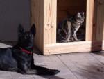 Holly avec Minouche - Dutch Shepherd dog