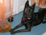 Holly, femelle Berger Holllandais - Dutch Shepherd dog