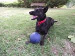 Holly, femelle Berger Hollandais et son ballon - Dutch Shepherd dog