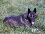 jey de la clairiere de corr - Dutch Shepherd dog