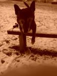 Bandjo - Male Dutch Shepherd dog (11 years)