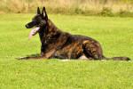 Dutch Shepherd dog picture