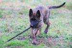 Dutch Shepherd dog picture