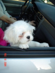 Lhassa Apso (5 months) picture