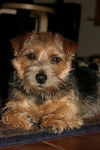 Ruth - Norfolk Terrier (1 year and 7 months)