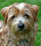 Beccles - Norfolk Terrier