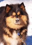 chien finnois de Laponie - Taïga - Finnish Lapphund