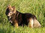 chien finnois de Laponie - Rahkkasan Biija - Finnish Lapphund