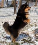 chien finnois de Laponie - Finnish Lapphund