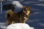 Chien finnois de Laponie - Pippin - Finnish Lapphund