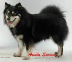 chien finnois de Laponie - Saskatchewan Trail's Pataud appartenant à l'élevage d'ARVELA SUOMEN - Finnish Lapphund