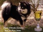 chien finnois de Laponie - Diana d'ARVELA SUOMEN appartenant à l'élevage d'ARVELA SUOMEN - Finnish Lapphund