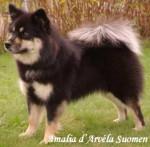 chien finnois de Laponie - Amalia d'ARVELA SUOMEN appartenant à l'élevage d'ARVELA SUOMEN - Finnish Lapphund