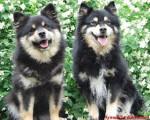 chien finnois de Laponie - Amalia d'ARVELA SUOMEN et SASKATCHEWAN TRAIL'S Pataud appartenant à l'éle - Finnish Lapphund