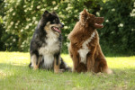Finnish Lapphund picture
