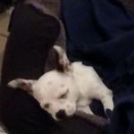 Cara - Chihuahua (2 months)