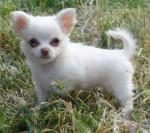 Linda - Chihuahua (3 months)