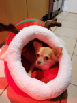 Lilou - Chihuahua (5 years)