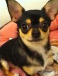 Chica - Chihuahua (1 year)