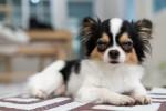 Un petit Chihuahua fatigué allongé sur une table