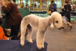 Bedlington Terrier picture