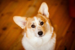Pembroke Welsh Corgi picture