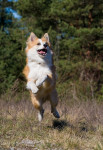 Icelandic Sheepdog picture