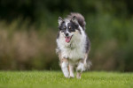 Icelandic Sheepdog picture