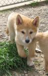 Arlo - Male Dingo (3 months)