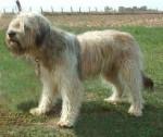 Hadès - Male Catalan Sheepdog (3 years)