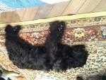 Sabar - Male Catalan Sheepdog (13 years)