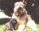 Berger Catalan - Catalan Sheepdog