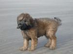 Gos Mao sur la plage - Catalan Sheepdog