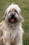 Catalan Sheepdog picture