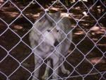 Zoolobo - Male Wolf (2 years)