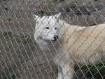 Saska - Wolf