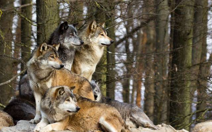 Ma meute - Wolf