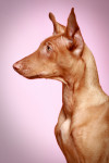 Pharaoh Hound picture