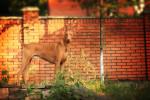 Pharaoh Hound picture
