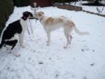 mes barzoi dans la neige - Borzoi