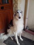 Berry - Male Borzoi (7 years)