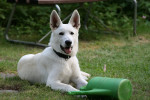 Canaan Dog picture