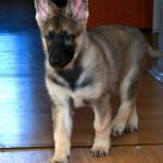 Iolanta - East-European shepherd (2 months)