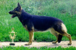 East-European shepherd picture