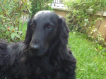 River 9 ans et demi - Flat-Coated Retriever (9 years and a half)